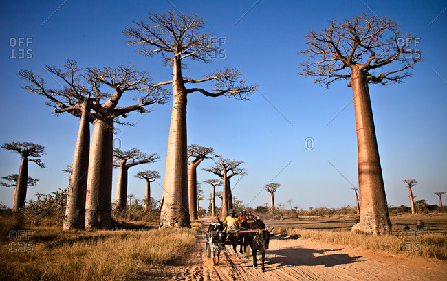 People traveling in cow carriage in Morondava, Madagascar