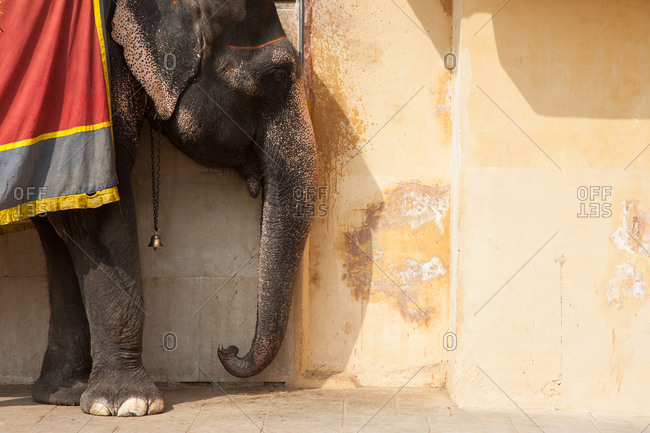 Side-view of Indian Elephant, before face decorating, in Jaipur, India