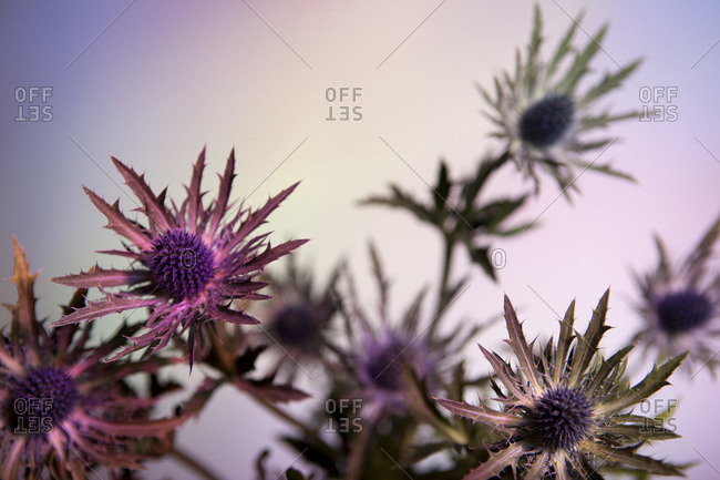 Thistle flowers against a pastel background