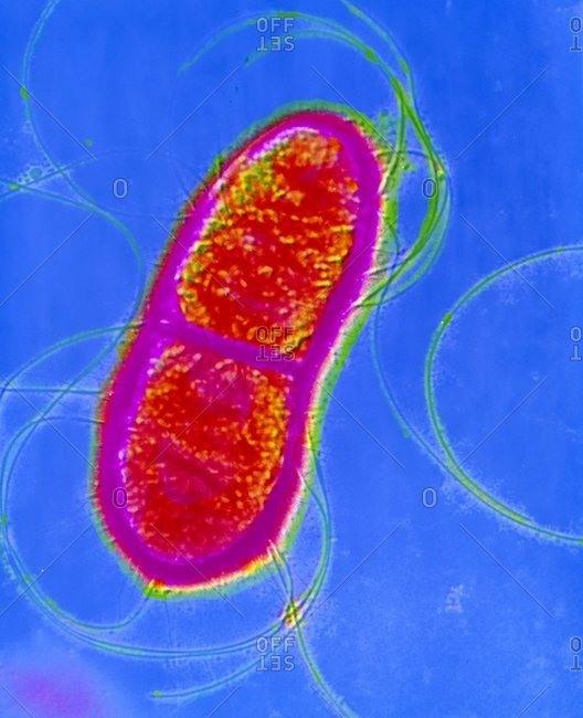 Magnification of a false-color transmission electron micrograph of single Serratia sp. Bacterium