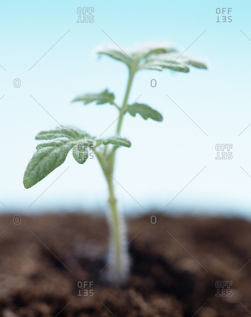Young tomato plant seedling sprouting