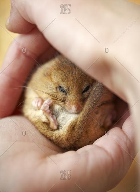 Hazel Dormouse curled up in mans hands