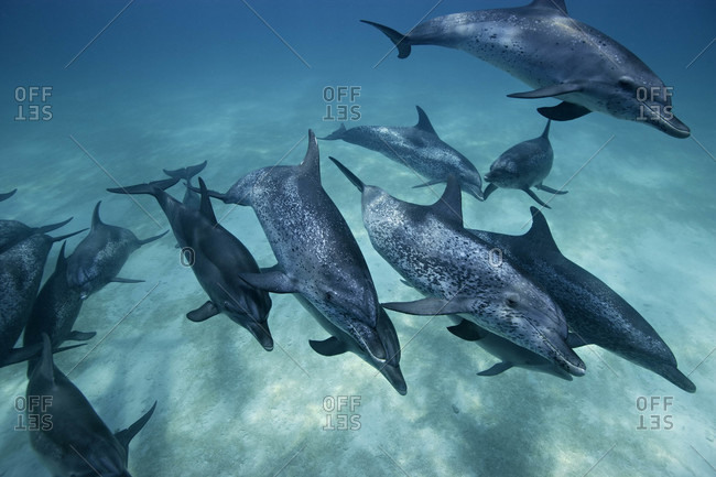 Atlantic Spotted Dolphins, a group of adults swimming rapidly