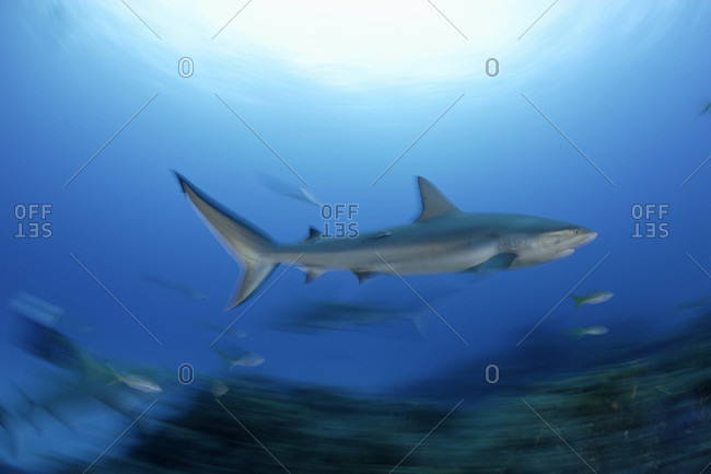 Caribbean Reef Shark motion-blurred for effect