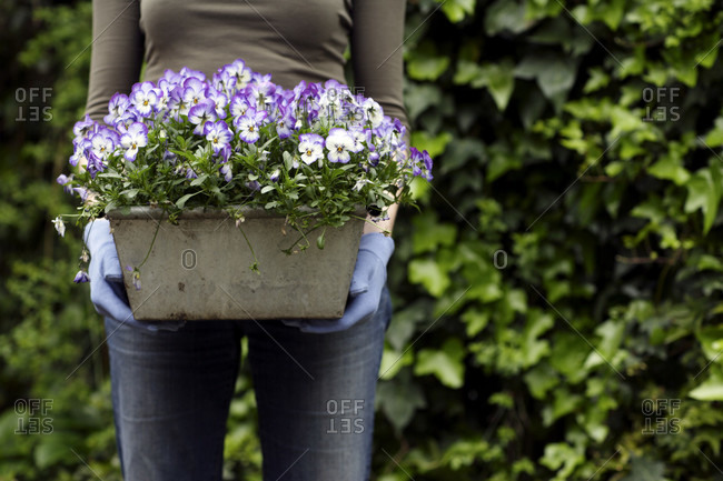 Woman holding a plant pot containing pansies (Viola sp.).