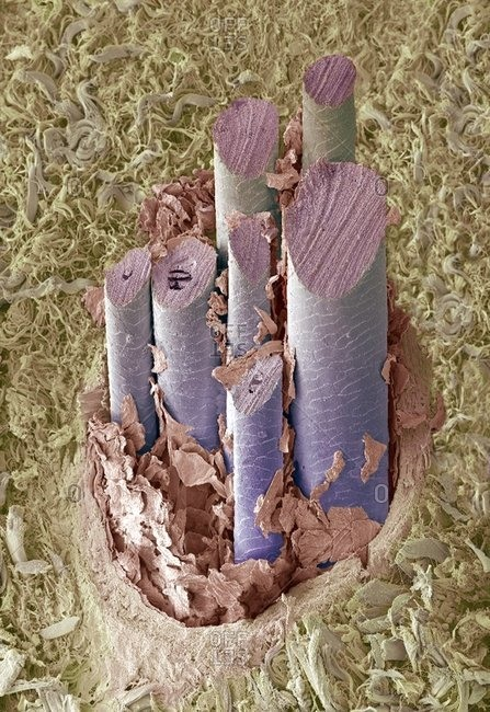 Dog hair under a Color scanning electron micrograph.