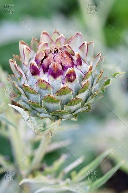 Globe artichoke (Cynara scolymus).