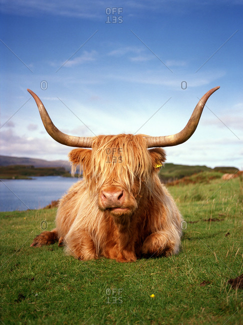 A highland cattle cow resting