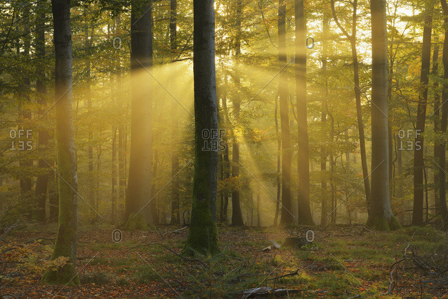 Sunbeams through Beech Trees in Autumn with Morning Mist, Spessart, Bavaria, Germany