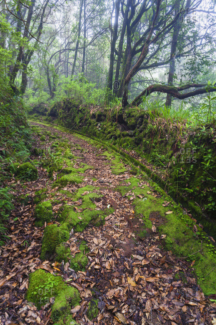 Old Path and Levada Leading Through Trees and Tree Heath (Erica Arborea) in a Temperate Primary Forest, Queimadas, Santana, Madeira, Portugal