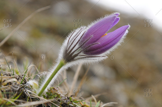 Close-Up of Pulsatilla Vulgaris, Pasque Flower, Oberpfalz, Bavaria, Germany