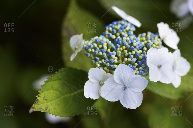 Big leaf hydrangea plant with blue buds, white blooms and green foilage shot close-up in a garden, Canada
