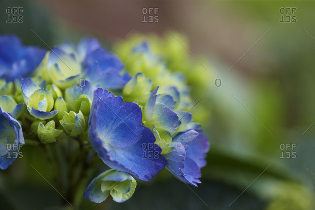 Blue perenial flowers in bloom with green foilage in a garden in Canada shot close up