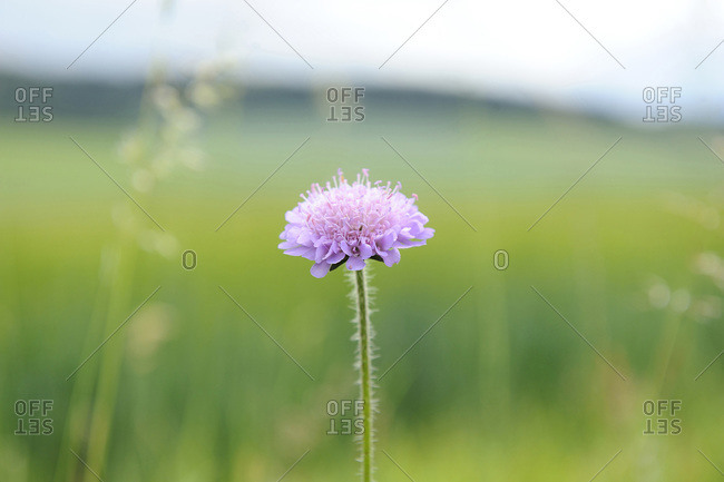 Close-up of Field Scabious (Knautia arvensis) in a meadow in summer, Upper Palatinate, Bavaria, Germany