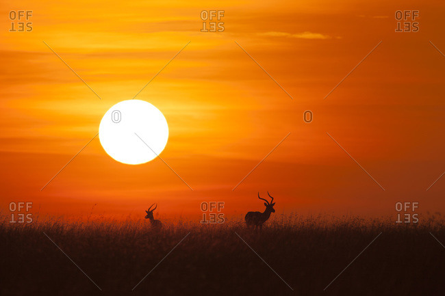 Two Impala (Aepyceros melampus) silhouetted at sunrise, Maasai Mara National Reserve, Kenya, Africa.