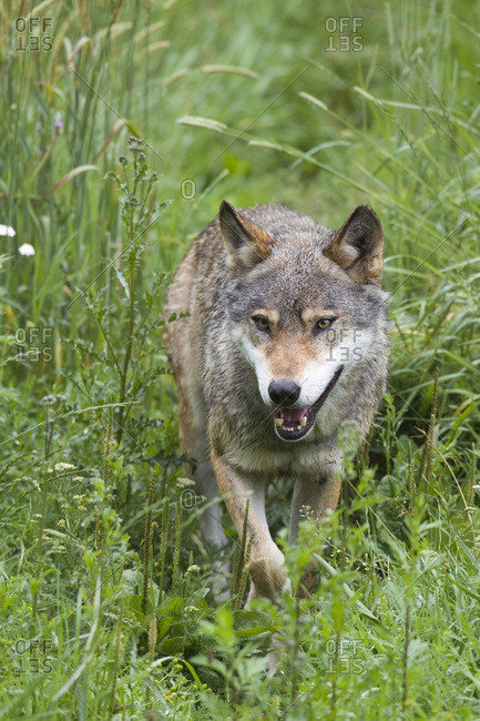 European Wolf (Canis lupus lupus) in Game Reserve, Germany