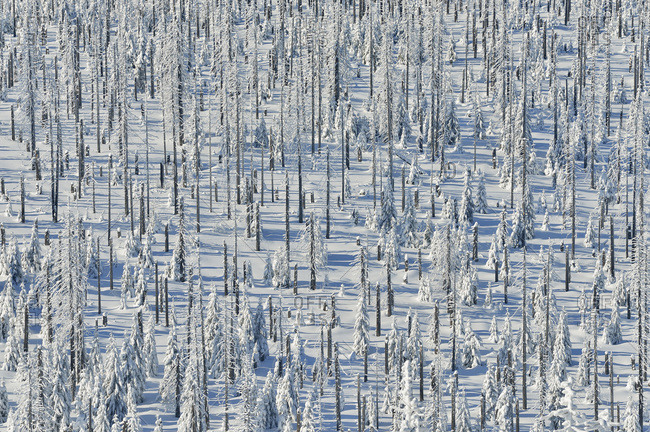 Snow Covered Conifer Forest in the Winter, Mount Lusen, Grafenau, Bavarian Forest National Park, Bavaria, Germany
