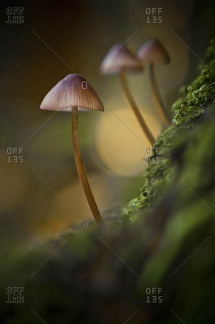 Three small saprotrophic mushrooms grow out of a moss patch in a damp forest