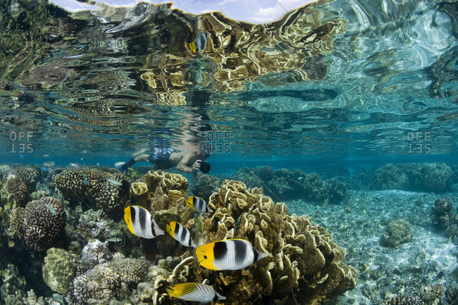 Butterflyfish among health hard corals