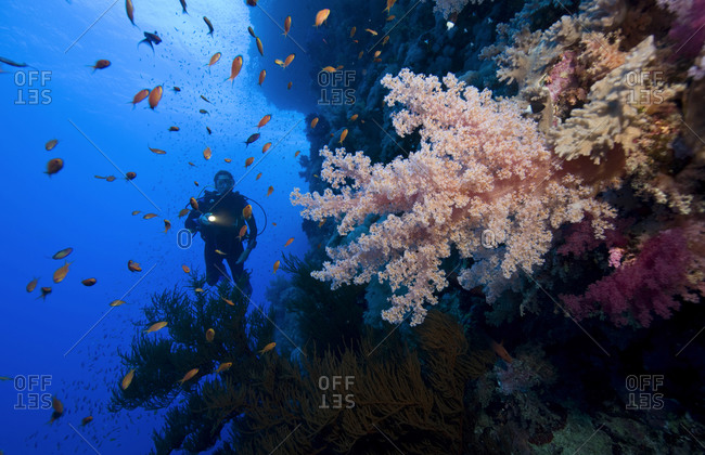 Diver illuminates a large branch of soft coral
