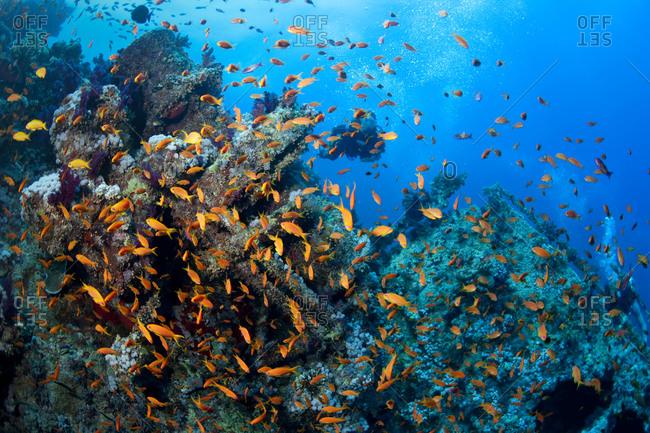 Scuba diver amid schooling anthias on a shipwreck