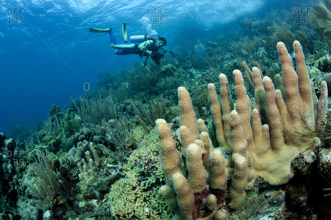 Scuba diver swims across an expanse of healthy coral reef