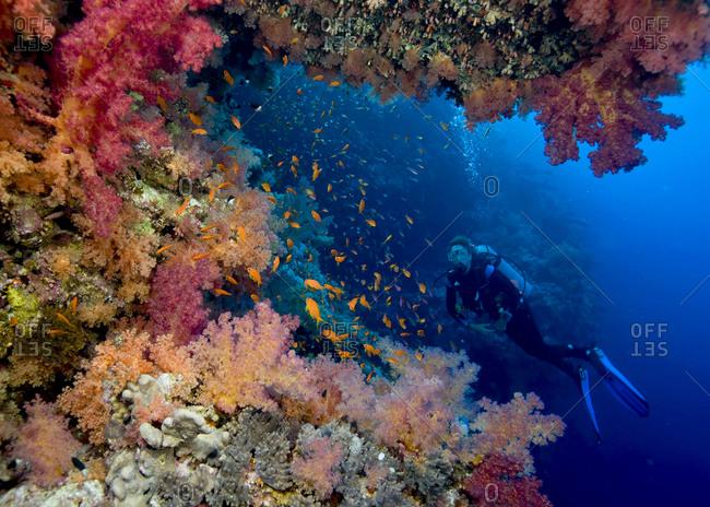 Scuba diver poses amid a plethora of marine life, vibrant soft corals