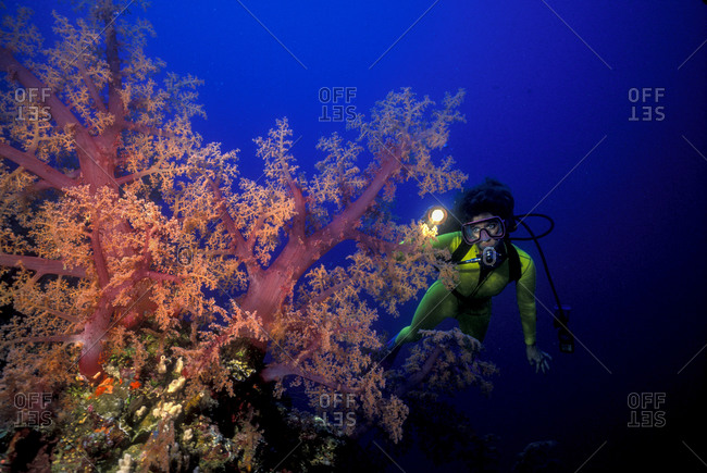 Scuba diver illuminates vividly colored soft corals