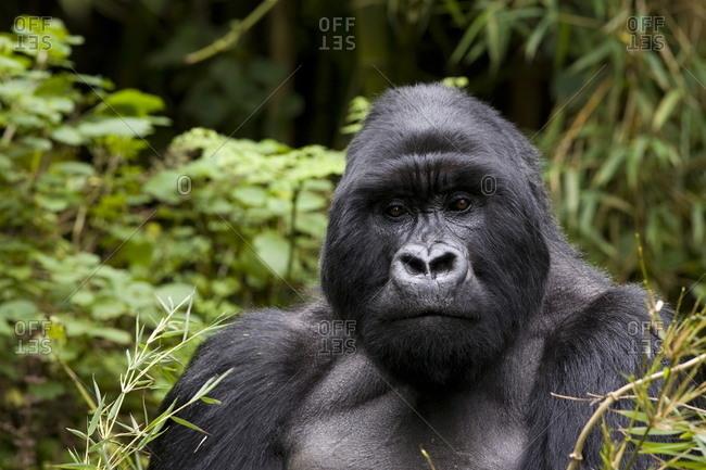 Silverback, mountain gorilla (Gorilla gorilla beringei), Kongo, Rwanda, Africa