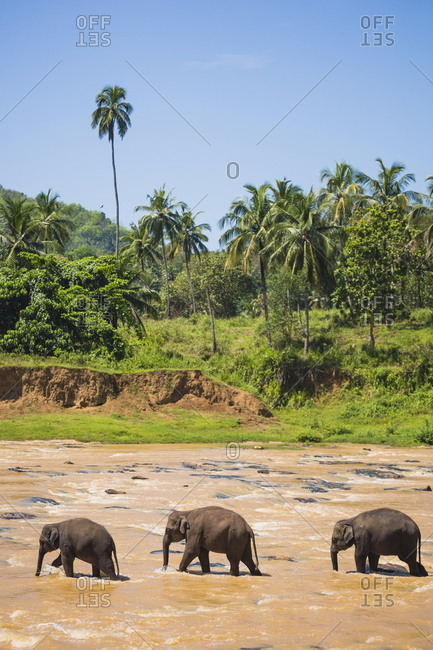Three elephants in the Maha Oya River at Pinnawala Elephant Orphanage near Kegalle in the Hill Country of Sri Lanka, Asia