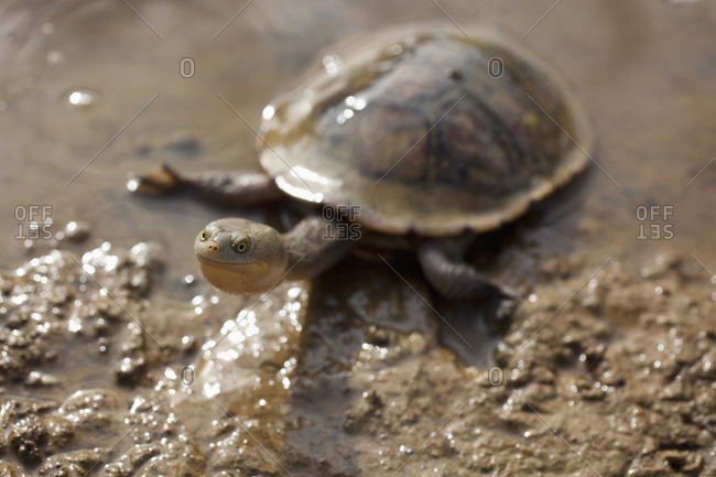 Long-necked turtle in mud