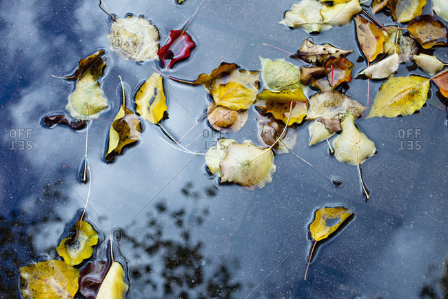 Autumn leaves floating in a puddle