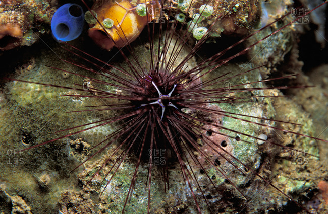 Longspine Sea Urchin have Long spines that can inflict painful wounds