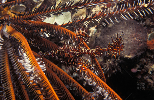 A well camouflaged Ornate Ghost Pipefish hiding amongst arms of a crinoid