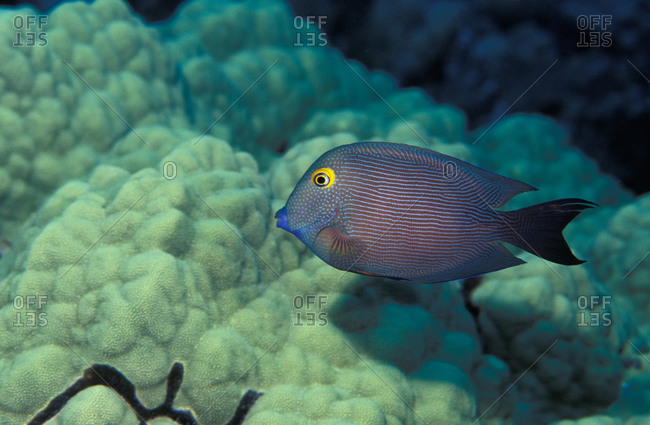 Goldring Surgeonfish with yellow eyes