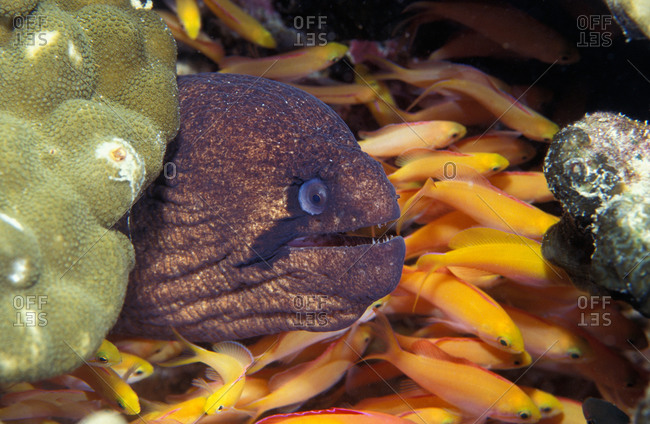 Masked Moray Eel with a school of anthias