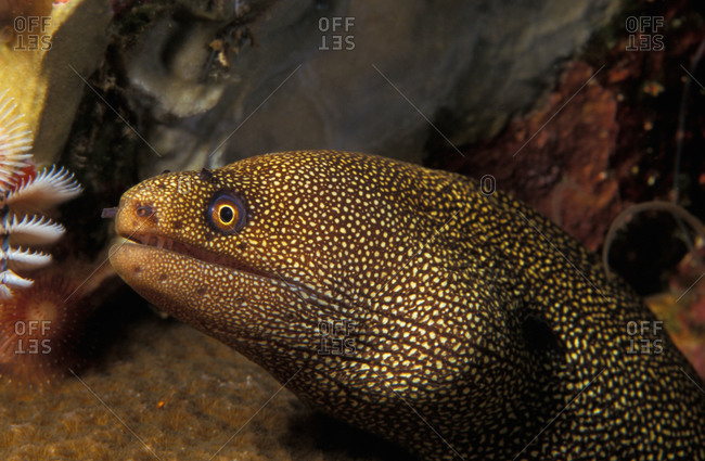 Goldentail Moray Eel near coral