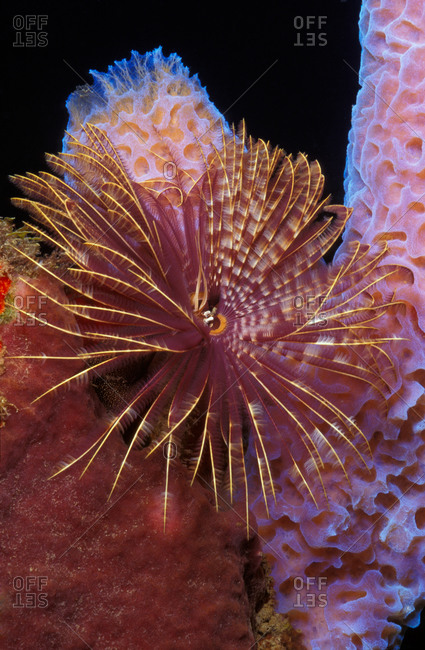 Magnificent Feather Duster, which is tha large segmented worm. This polychaete retracts feathery crown into tube when disturbed