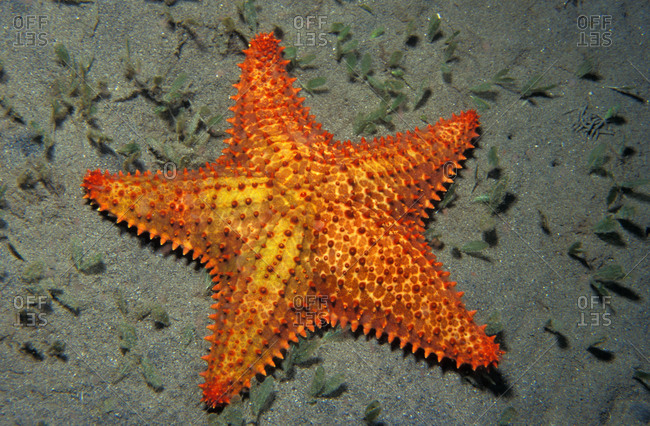 Red Cushion sea star inhabits shallow sea grass beds and sand flats