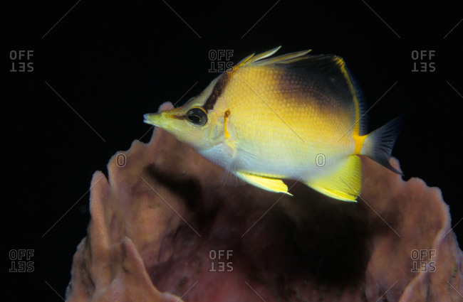 Longsnout Butterflyfish Unlike most butterflyfish, this species is usually solitary