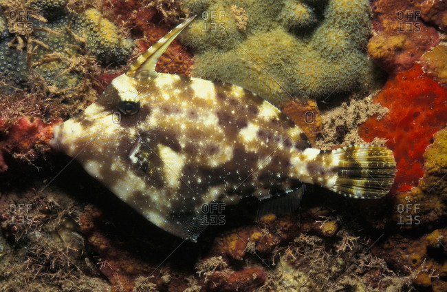 Pygmy Filefish at night. While sleeping, its sharp dorsal spine is erect for protection its sharp dorsal spine is erect for protection