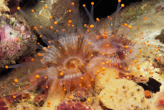 Orange Ball Corallimorph tentacles extended to feed at night