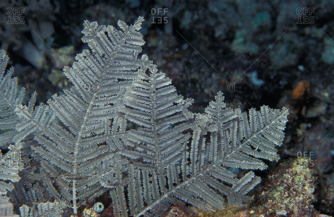 Stinging Hydrozoan delivers painful sting