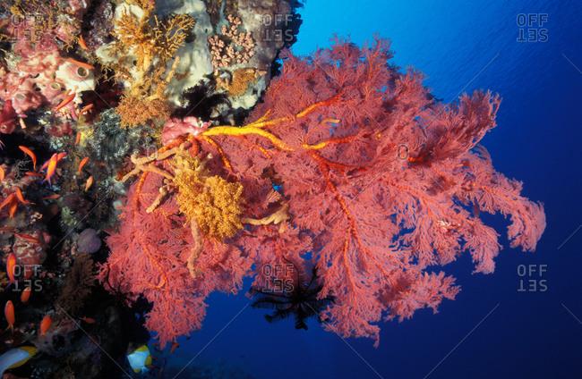 Gorgonian sea fan  along wall