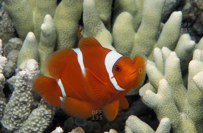 An orange and white spine-cheek anemonefish