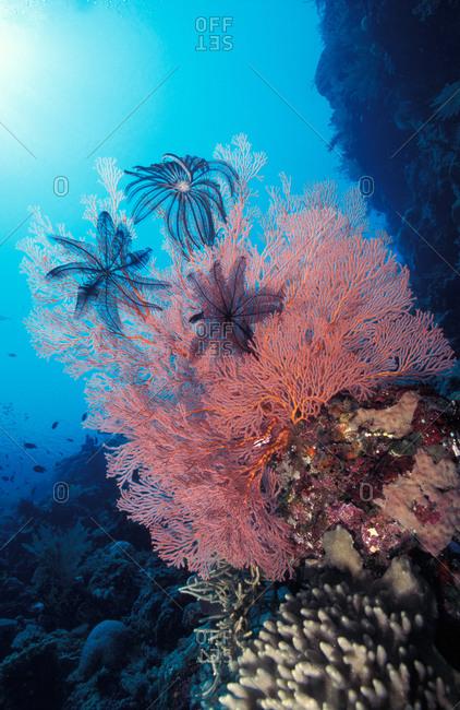 Gorgonian sea fan with crinoids
