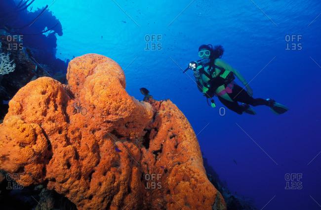 Orange Elephant Ear Sponge and scuba diver