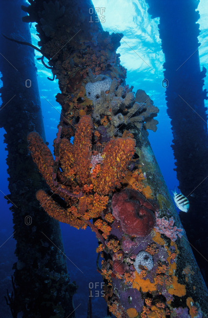 Sponges and corals encrusting the submerged pilings of the Salt Pier in Bonaire, now a vibrant artificial reef