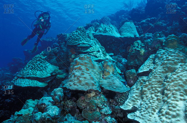 Giant mushroom-like mounds of Mountainous Star Coral on reef slope