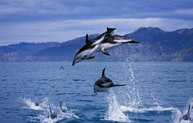 Dusky Dolphins leaping high out of the water. This is a very acrobatic species, with mating groups often jumping in harmony